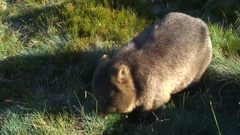 Common Wombat eat grass on the mountain plains Stock Footage