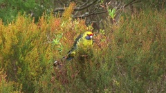 Green Rosella feed in the bush Stock Footage
