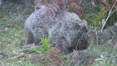 Common Wombat walk and eat grass in the afternoon Stock Footage