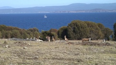 Forester Kangaroo mob feed on grass plains close to the Tasmanian Sea Stock Footage
