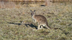Forester Kangaroo looking and jumps away on a sunny day Stock Footage