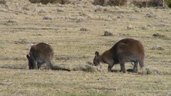 Forester Kangaroos feeding on grass on a sunny day Stock Footage