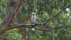 Laughing Kokaburra preen feathers in Eucalyptus tree Stock Footage