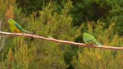 Orange-bellied Parrots perched on branch looking around Stock Footage