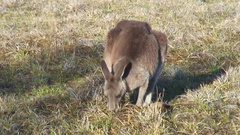 Forester Kangaroo feeding on grass on a sunny day Stock Footage