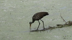 Limpkin looking for snail in Florida wetlands Stock Footage