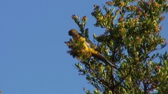 Green Rosella feed in the tree tops on a sunny day Stock Footage