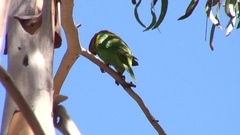 Musk Lorikeet perched on branch on a sunny day looking around Stock Footage