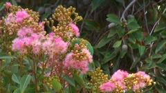 Musk Lorikeet feed on pink flower in tree Stock Footage