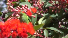 Musk Lorikeet feed on red flower in tree Stock Footage