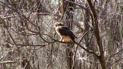 Southern Boobook perched on branch on a sunny day looking around Stock Footage