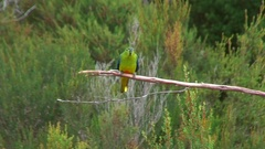 Orange-bellied Parrot perched on branch looking around Stock Footage