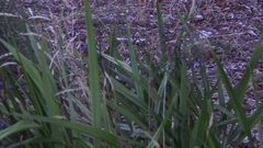 Southern Brown Bandicoot walk in the bush in the afternoon Stock Footage
