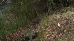 Short-beaked Echidna walk in forest and go down into a hole Stock Footage