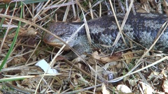 Tasmanian Blue Tongue Lizard rest in grass on a sunny day Stock Footage