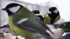 Slow Motion Titmouse Birds Feed in Winter Stock Footage