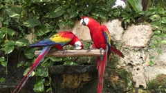 Scarlet Macaw, the red parrots perching Stock Footage