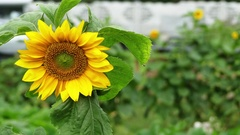 Helianthus annuus, common sunflower Stock Footage