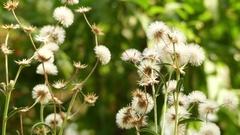 Vernonia flexuosa in family Asteraceae Stock Footage
