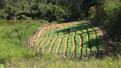 Cuban peasants working in homestead farming.  Vinales, Cuba Stock Footage