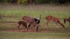 Alert young buck fawn sparring does turkeys Stock Footage