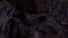 Tiger snake smelling and slither in under rocks late in the afternoon Stock Footage