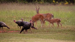 Doe buck fawns wild turkeys battle over salt lick Stock Footage