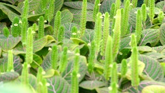 Fittonia albivenis in family Acanthaceae Stock Footage