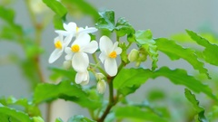 Begonia cubensis, also known as Cuban Holly Stock Footage