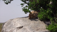 CLOSE UP: Wild lioness lying on big lion kopje rock under lush bush on sunny day Stock Footage