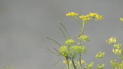 Fennel (Foeniculum vulgare) Stock Footage
