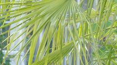 Chamaerops is genus of flowering plants Stock Footage
