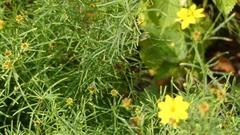 Coreopsis verticillata in sunflower family Stock Footage