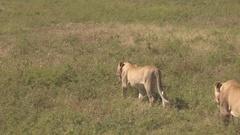 CLOSE UP: Stunning lion family walking across endless savannah grassland fields Stock Footage