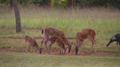 White tail deer family young buck spotted fawns Stock Footage