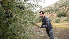 Man in olive il harvest Stock Footage