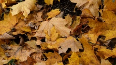 Ants crawling on yellow leaf Stock Footage