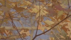Golden Maple Leaves Stock Footage