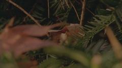 Leaves in Yew CU Rack Focus Stock Footage