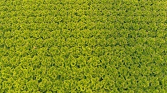 Aerial - Top down view of green lettuce cultivation in a greenhouse Stock Footage
