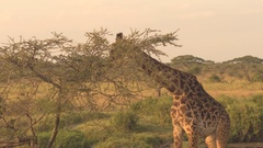 CLOSE UP: Giraffe accompanied by oxpeckers browsing on foliage on sunny morning Stock Footage