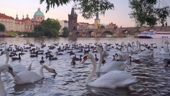 Swans on the Vltava river, view on Charles (Karluv) bridge, Prague, Czech Stock Footage