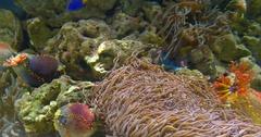 Small Colorful Deep Sea Coral Fish In Aquarium Stock Footage