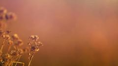Dry Flowers Blowing in a Open Field Stock Footage