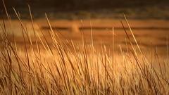 Dry Orange Reeds Blowing in a Open Field Stock Footage
