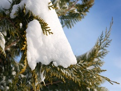 Snow caps lies on green thuja branches on a sunny winter day Stock Footage