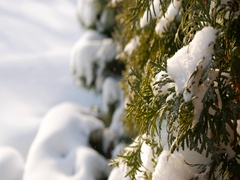 Sparkling snow lies on green thuja branches on a sunny winter day Stock Footage