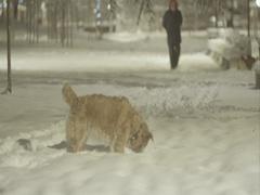 Labrador playing in deep snow in the park on street lighting Stock Footage