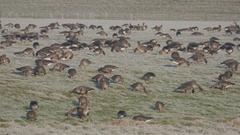 Goose feeding on frozen grassland,Middelaar,Netherlands Stock Footage