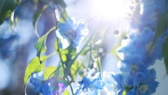 Sun shines through blue flowers macro close up shallow depth of field rack focus Stock Footage